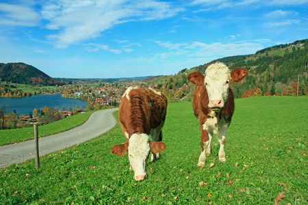 brindled:  Two white and brown brindled dairy cows in bavarian landscape