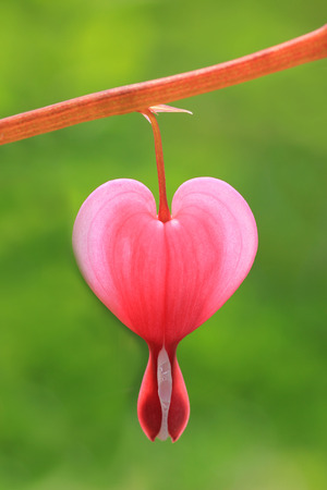 closeup of one bleeding heart bloom isolated, against green outdoors photo