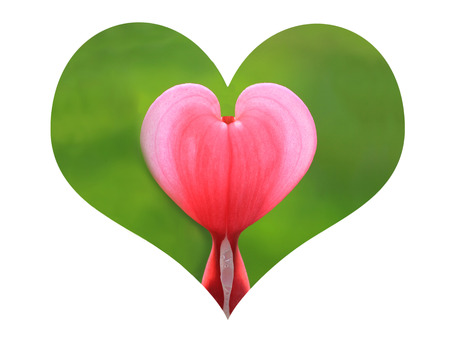 heart shape with bleeding heart plant on white background photo