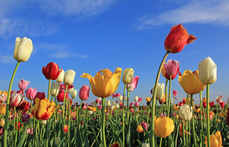 multicolor tulip field against blue sky, flowers for self cutting