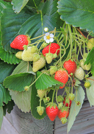 strawberry plants, balcony garden