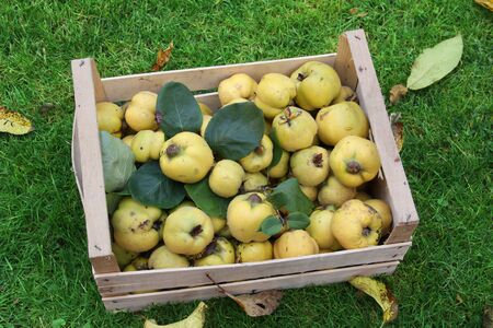 quinces: Homegrown apple quinces in a crate, harvesting time  Stock Photo