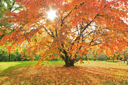 One autumnal cherry tree in the park, natural scenery with bright sunshine photo