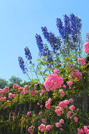flourishing pink rose bush and blue delphinium flowers behind the garden fence, against blue sky Stockfoto
