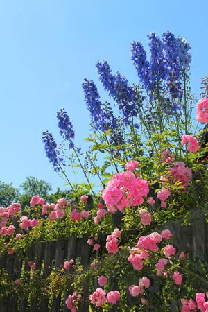 rose bush: flourishing pink rose bush and blue delphinium flowers behind the garden fence, against blue sky Stock Photo