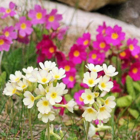 gelb und rosa Primeln in den Garten Lizenzfreie Bilder