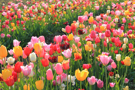 bright colorful flowerfield of back lighted various tulips