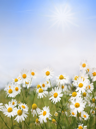 camomile flowers and blue sky with clouds, floral background with copy space  photo