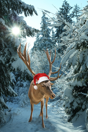 Reindeer with santa claus hat in the wintry forest  photo