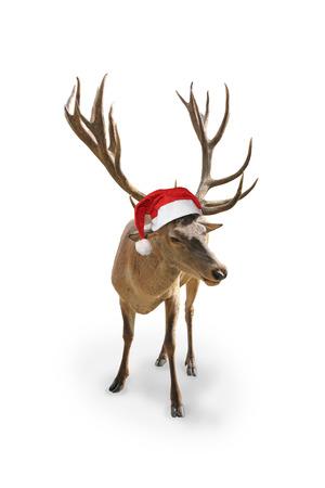 Rentier mit Weihnachtsmann-Hut, isoliert auf weißem Hintergrund