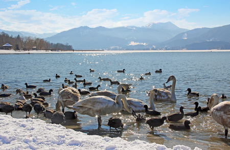 Waterfowl at tegernsee lakeshore, winter scenery, germany  Stock Photo