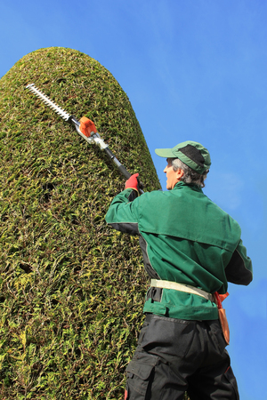 hedge clippers: professional gardener trimming thuja with hedge clippers  Precision work in a topiary garden  Side view