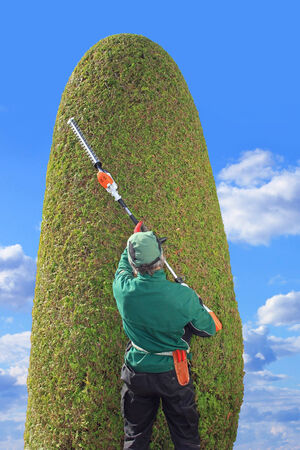 hedge clippers: professional gardener trimming thuja with hedge clippers  Precision work in a topiary garden  Back view  Stock Photo