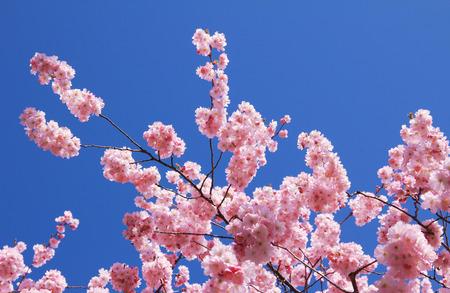 twigs of an flowering cherry tree, full bloom, against blue sky