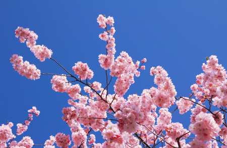 twigs of an flowering cherry tree, full bloom, against blue sky