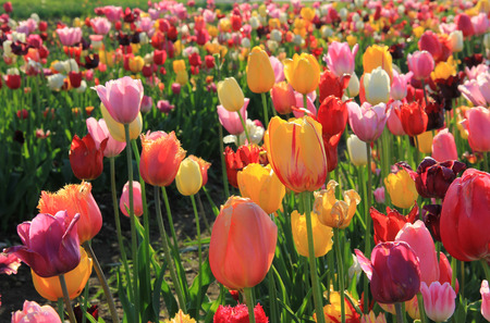 field of mixed tulips with back lighting Stockfoto
