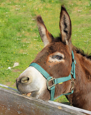 nibbling: brown donkey, nibbling on the wooden fence