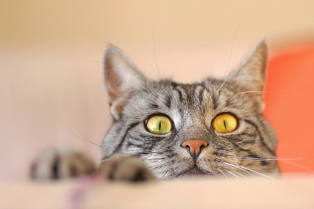 lurking: tabby cat lurking for a mouse Stock Photo
