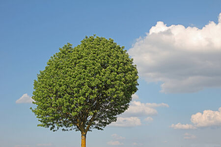 broad leaf: broad leaf tree against blue sky with clouds, environmentally background