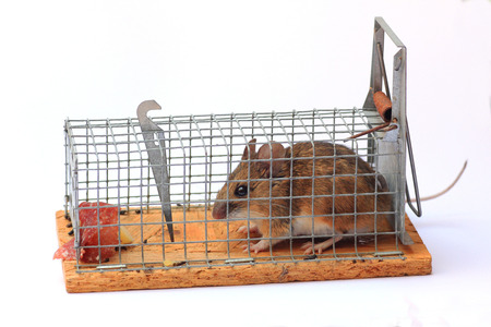mouse trap: captured mouse in a mouse live trap