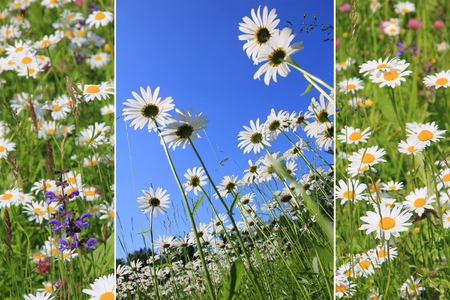 triple collage of marguerite meadow photo