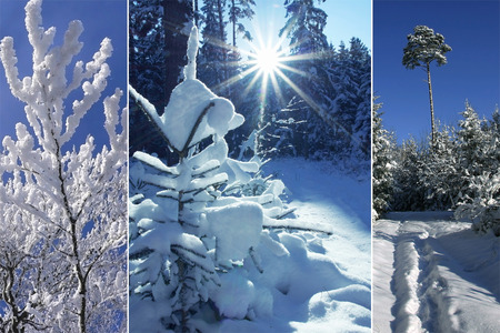 Triple - wintry forest, snow covered trees