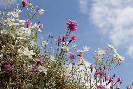 cerastium tomentosum: chickweed and dianthus alpinus, rockery plants Stock Photo