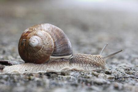 edible snail: large garden snail, edible