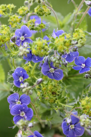 alchemilla: primo piano di speedwell blu e alchemilla, piante di guarigione