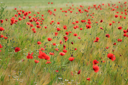 marguerites: grainfield with shiny red poppy flowers and marguerites Stock Photo