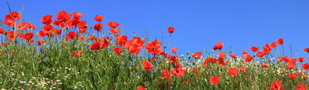 bright red poppies and marguerites full bloom, panoramic size Foto de archivo