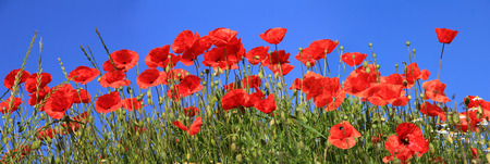 bright red poppies full bloom and blue sky, panoramic size