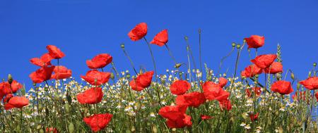 밝은 빨간 양귀비 및 marguerites 만개, 푸른 하늘에 대하여
