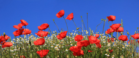 bright red poppies and marguerites full bloom, against blue sky Stockfoto
