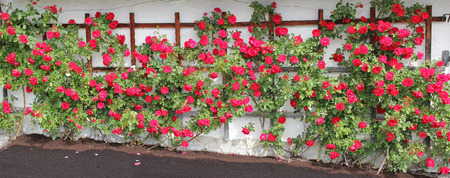 rambler: rambler rose espalier with red roses, full bloom