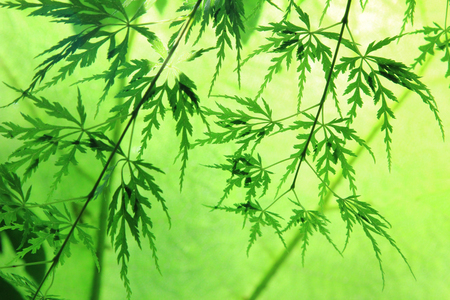 acer palmatum: decorative japanese acer leaves, back lighted
