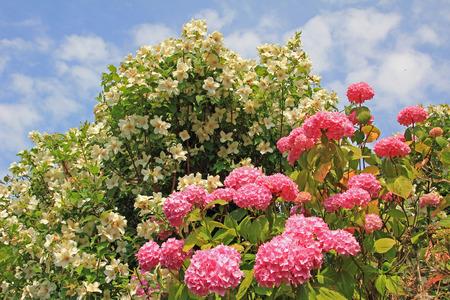 jasmine bush: pink hydrangea and fragrant jasmine bush, against blue sky