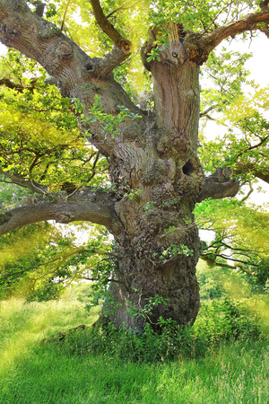 very old gnarled oak tree, with sun rays back lighted Standard-Bild