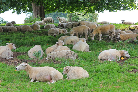 settled: sheep herd, settled down under a big chestnut tree Stock Photo