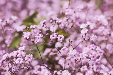 light pink gypsophila, babys breath