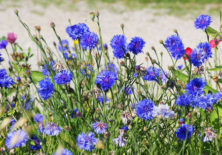 meadow with wild cornflowers Stock Photo