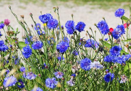 meadow with wild cornflowers Stockfoto