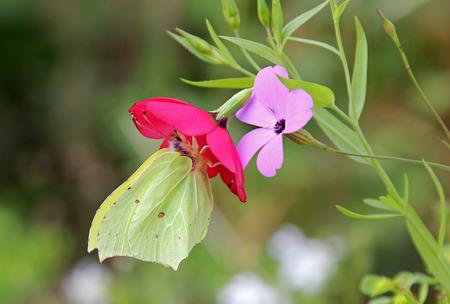 brimstone butterfly, sitting on a summer flower photo