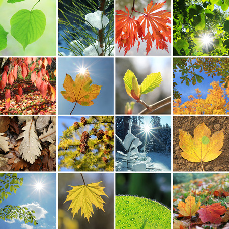 collage - tree leaves and needles in the four seasons