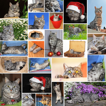 collage of european short hair tabby cat photo
