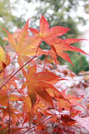 background of maple tree branches in autumnal colors, with flares Stock Photo