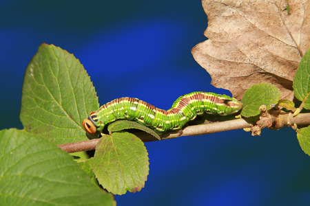 larval: sphinx pinastri on twig with leaves, larval stage.