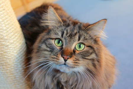 pedigree: siberian pedigree cat with green eyes