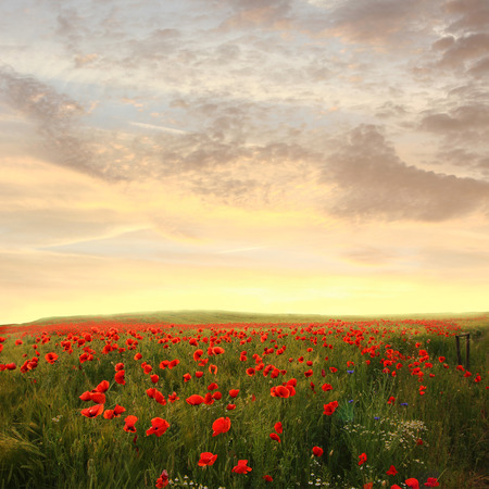 赤いケシの花とカモミール - 夢のようなサンセット風景の背景の麦畑