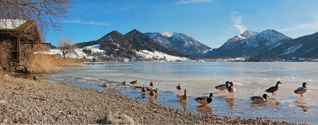 ice sheet: schliersee lake with sheet of ice and ducks, german winter landscape Stock Photo